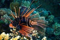 Radiella firefish på natten Royaltyfria Foton