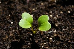Radijsspruit het groeien van de grond, de lenteinstallatie royalty-vrije stock foto's