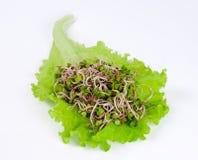 Radijsspruiten op groen slablad Stock Fotografie