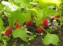 Radijzen die in grond groeien Stock Foto's