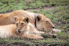 Radio Collared Female African Lioness. In Serengeti NP, Tanzania, Africa royalty free stock image