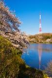 Radio tower and Yoshino cherry trees Stock Photos