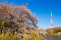Radio tower and Yoshino cherry trees Royalty Free Stock Photo