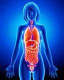 Radiografía de órganos internos del cuerpo femenino Fotos de archivo libres de regalías
