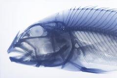 Radiografía de un pescado Imagen de archivo libre de regalías