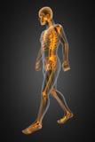 Radiografía del hombre que recorre stock de ilustración