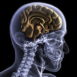 Radiografía esquelética - mitad de una mente stock de ilustración