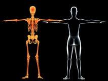 Radiografías y parte posterior esqueléticas de la mujer Fotos de archivo