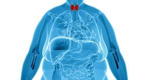 Radiografe a ilustração da mulher excesso de peso com glândula de tiroide Fotografia de Stock