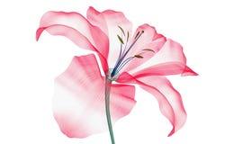 Radiografe a imagem de uma flor isolada no branco, o lírio ilustração stock