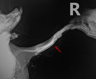 Radiograph show x ray Lateral for bone fracture leg in dog Chihuahua with arrow Royalty Free Stock Photo