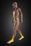 Radiographie de marche d'homme Images libres de droits