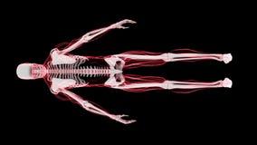 radiologiczny obraz cyfrowy Ludzki kościec (HD) ilustracji