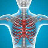 Radiologiczny thorax Zdjęcia Stock