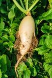 Radis cultivé dans la terre image libre de droits