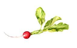 Radis rouge avec des feuilles Photos stock