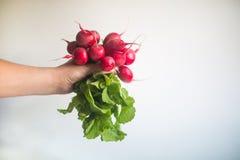 Radis rouge frais dans des mains femelles sur le fond blanc Photographie stock
