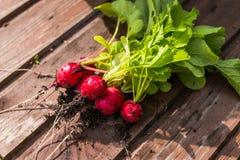 Radis rouge rond sur le conseil, groupe de radis rond récemment récolté dans une main, grand groupe d'organique frais image libre de droits