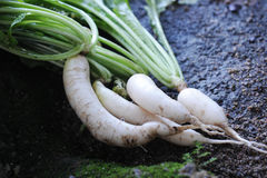 Radish. The close up of white radish royalty free stock image