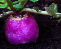 Radish. Organic radish grown in a rich dark soil Royalty Free Stock Images