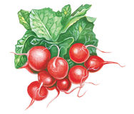 Radish Stock Photography