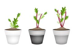 Radish Or Beet Plant in Ceramic Flower Pots Stock Photos