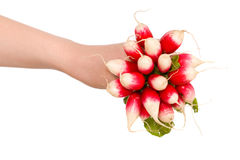 Radish bunch in female hand isolated on white. Young female hand holds bunch of radish, all isolated on white background Stock Photography