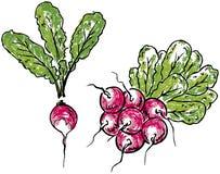 Radish and bunch of radishes Royalty Free Stock Photos