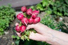 Radish. Caucasian person holding fresh radish Stock Photos