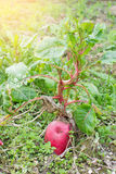 Radish. Close view of radish in the field Royalty Free Stock Photos