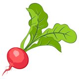 Radish. This is file of EPS10 format Royalty Free Stock Photo