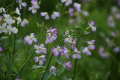 Radish flowers Royalty Free Stock Photos