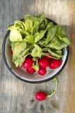Radish. Fresh radish in enamel bowl Royalty Free Stock Images