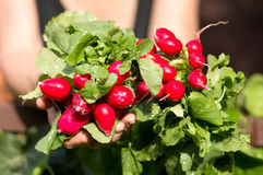 Radish. Fresh radish in female hands Royalty Free Stock Images