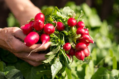 Radish. Fresh radish in female hands Royalty Free Stock Photo