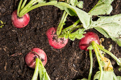 Radish in the garden Stock Photography
