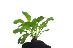 Radish with green leaves Royalty Free Stock Images
