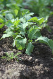Radish in the ground. Radish plants growing in the ground at spring Royalty Free Stock Photo