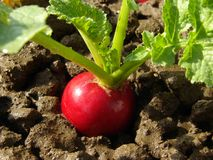 Radish growing Royalty Free Stock Photos