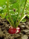 Radish growing Stock Photography