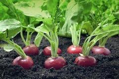 Radish growing in garden. Organic radish vegetables growing in the garden Stock Photography