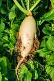 Radish grown in the ground. Mature white radishes grown in the ground Royalty Free Stock Image