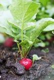 Radish grows in soil Royalty Free Stock Photo