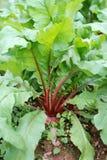 Radish. Growth in the land of the radish Stock Photo