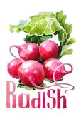 Radish. Hand drawing watercolor on white background with title. stock illustration