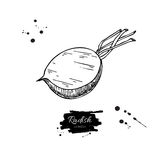 Radish hand drawn vector illustration. Isolated Vegetable engraved style object wirh sliced pieces. Stock Photos