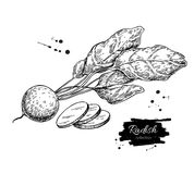 Radish hand drawn vector illustration. Isolated Vegetable engraved style object wirh sliced pieces. Royalty Free Stock Images