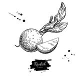 Radish hand drawn vector illustration. Isolated Vegetable engraved style object wirh sliced pieces. Royalty Free Stock Photos