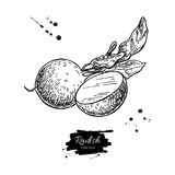 Radish hand drawn vector illustration. Isolated Vegetable engraved style object wirh sliced pieces. Stock Photography