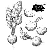 Radish hand drawn vector illustration set. Isolated Vegetable engraved style object with sliced pieces. Royalty Free Stock Photo